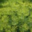 Anethum graveolens, Dill