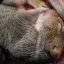 Sleeping Baby Squirrel