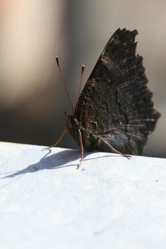 Schmetterling auf der Mauer