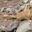 Mountain Weasel (Mustela altaica)