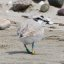 "Western Snowy Plover (Charadrius nivosus)  on Morro Strand - UPDATE 4/2011 Now split as ""Charadrius nivosus"""