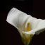 Calla