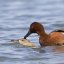 Cinnamon Teal - mating sequence, Los Osos (Cuesta by the Sea Inlet)