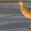 Long-billed Curlew (Numenius americanus), in late evening light