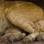 Sleeping Lion Cub