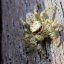 Jumping_Spider