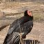 Grand Canyon National Park: California Condor 87_3467