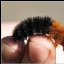 Wooly Bear Caterpillar to Tiger Moth