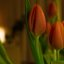 Tulpe