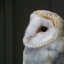 Barn Owl - Avenefica