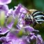 Australian Blue Banded Bee-Best viewed large