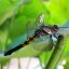 Dragonfly on a lotus stem