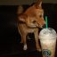 taro the shiba drinking starbucks coffee, 4