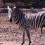A VERY Happy Zebra!