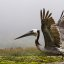 brown-pelican_MG_5156