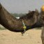 I love my camel