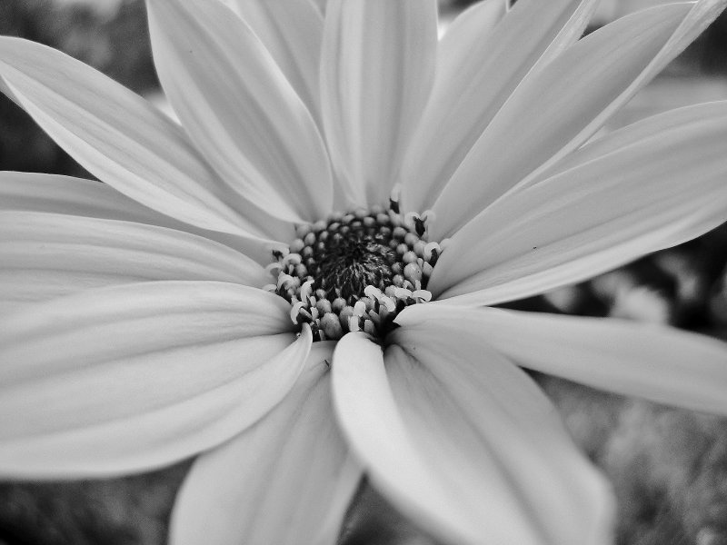 Blüte in Black n' White
