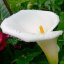 Calla lily after the rain