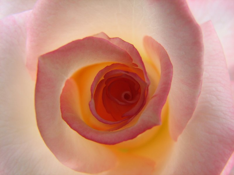 Backlit Rose Interior
