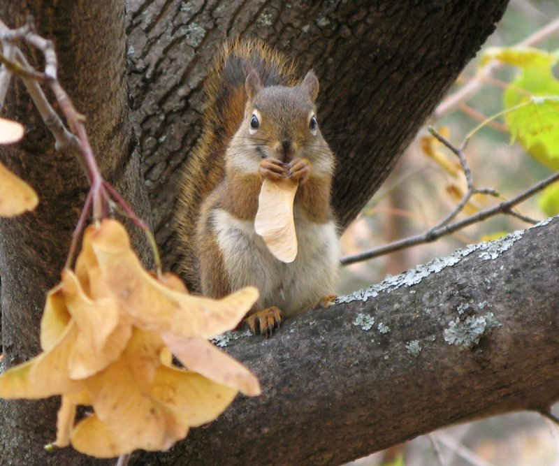 Red squirrel eating a maple seed