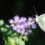050e cabbage white portrait