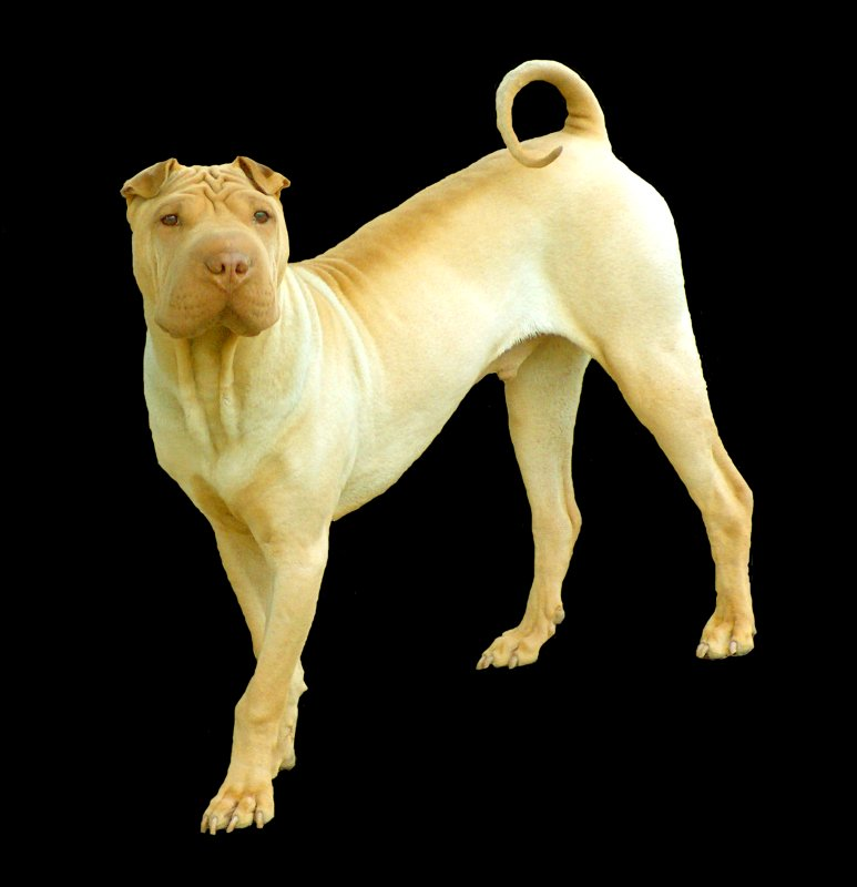 Fawn Dilute Chinese Shar Pei Puppy Dog, Aspen, Full Body Pose