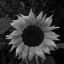 Sunflower BW
