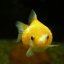 Plump gold fish