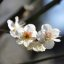 Plum blossoms (EDO-TOKYO Architectural Museum)