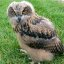 Baby European Eagle Owl