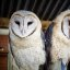 More Barn Owl cuteness