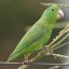 Tuim macho / male Blue-winged Parrotlet  ( Forpus xanthopterygius )