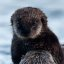 4 of 9 Sea Otter (Enhydra lutris), female, marine mammal, with her baby pup
