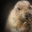 Black eyed p ... (prairie dog)