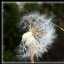 Pusteblume