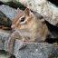 Tamia pensif -- Thoughtful chipmunk