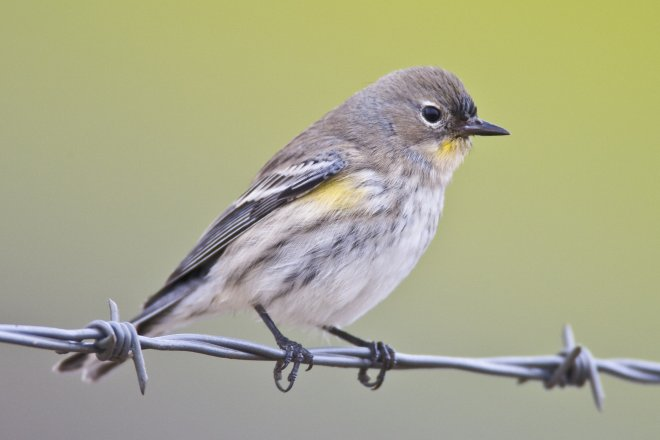 Yellow-rumped Warbler (Audubon's) Dendroica coronata bird in Morro Bay, CA