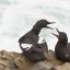 pigeon-guillemot-montana-de-oro-20july2008 (1 of 2)