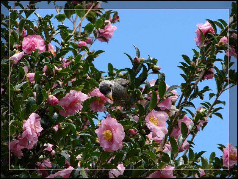 Camellia tree. >Find the bird<
