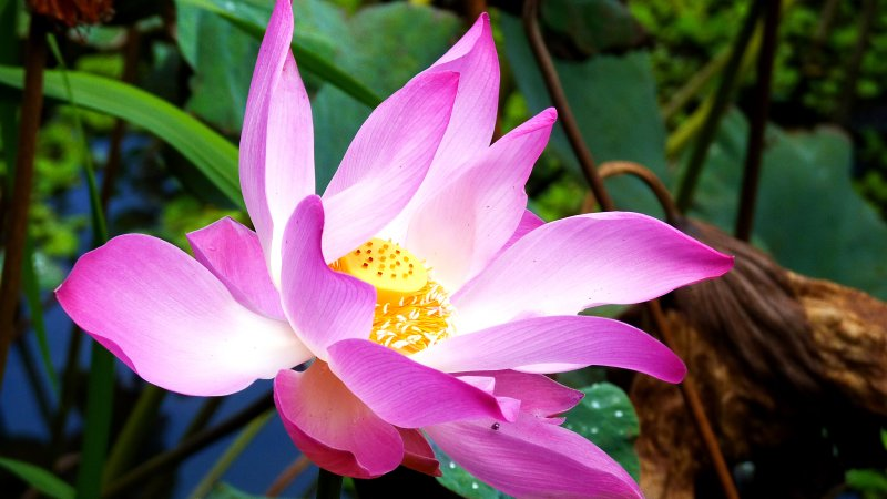 Go 4 Lotus Flower