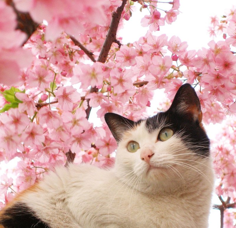 Cat among the cherry blossoms 2