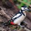 Great spotted woodpecker (female)