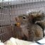 Boy Baby Gray Squirrel Rehabber