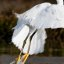 Snowy Egret (Egretta thula) takes flight and feet form an interesting image departing the water
