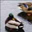 """""""The Mating Habits of Mallards"""" (3 of 3)"""