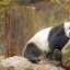 Pandas!! (GIANT PANDA/WOLONG/SICHUAN/CHINA)