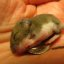 Baby Mouse Rehabber