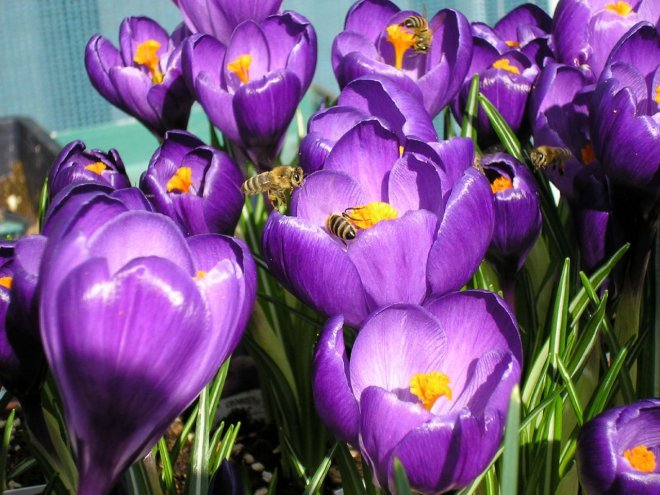 Bees on the Crocus
