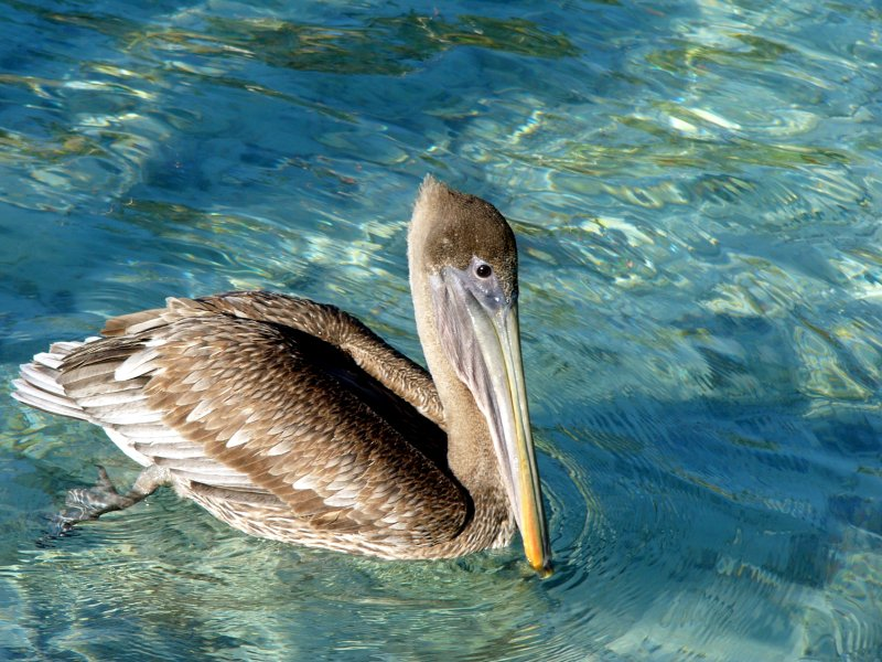 Pelican at Marina Cay