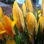 Crocus Surprise